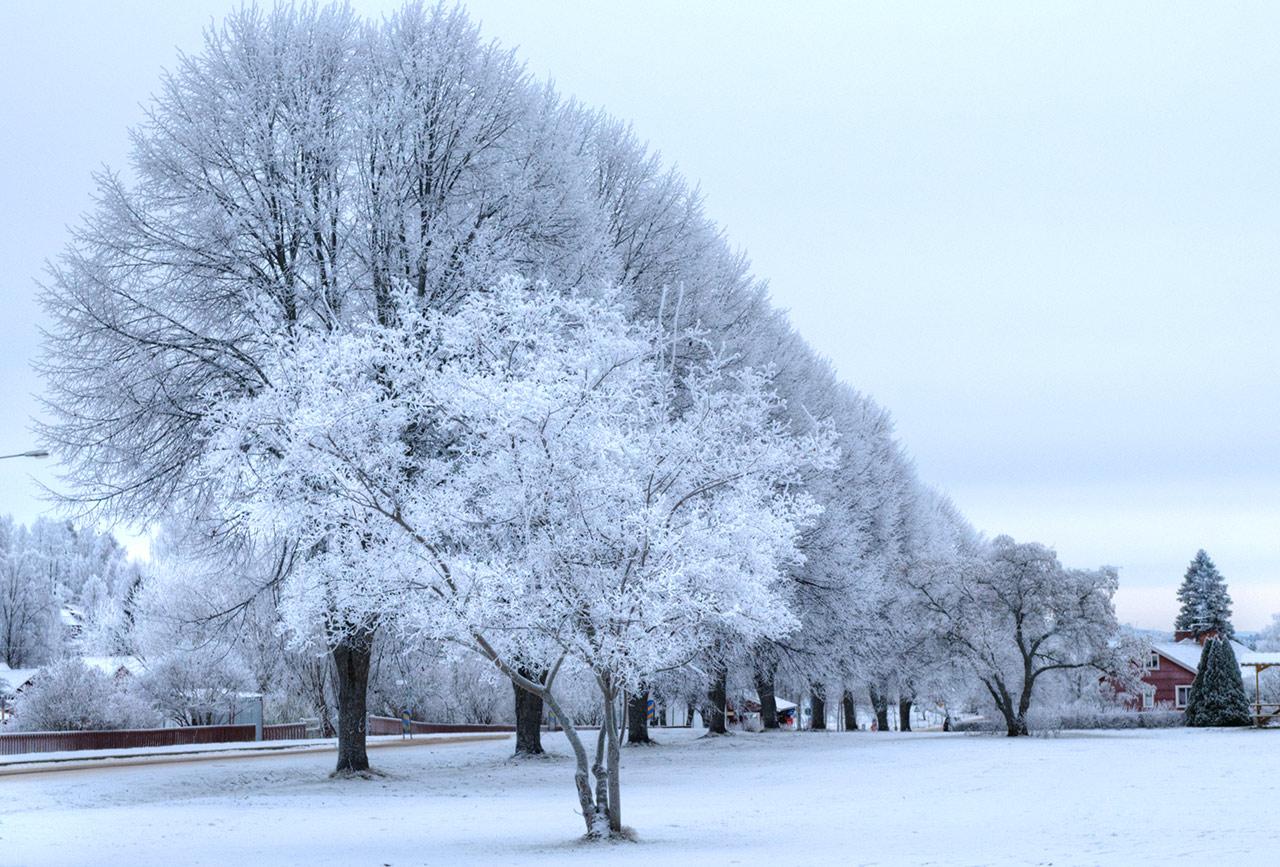 Träd utanför kyrkan i Siljansnäs